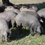 Porcs ibériques