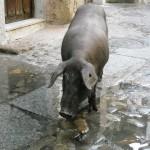 Notre ami le cochon ibérique